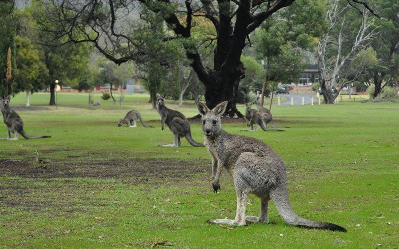 Kanguru-Avustralya